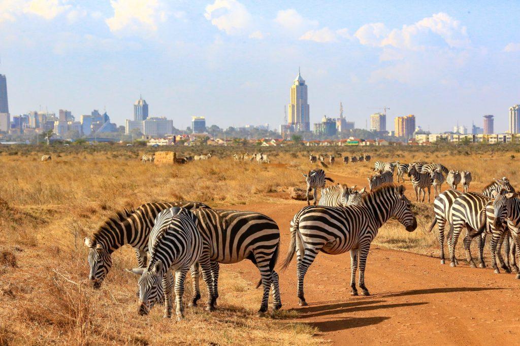 zebras gather in Nairobi National Park