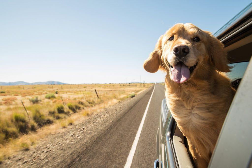 dog on a road trip-safe travel